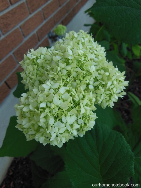 Front Garden After - Hydrangea bloom