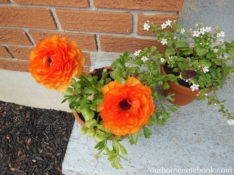 Front Garden After - Ranunculus and Bacopa in pots