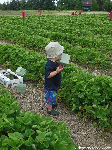 Picking Strawberries - Brendan