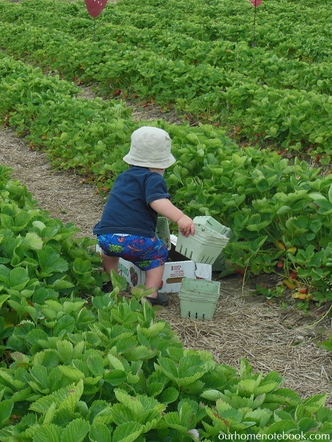 Picking Strawberries - Getting more baskets