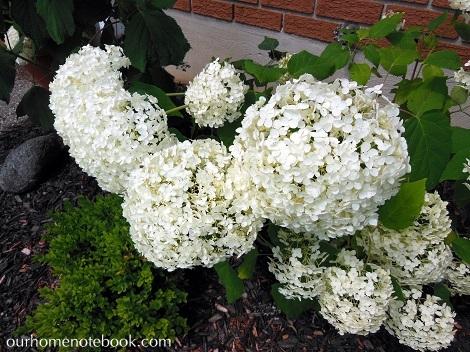 Hydrangeas in bloom2