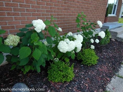 Hydrangeas in front garden