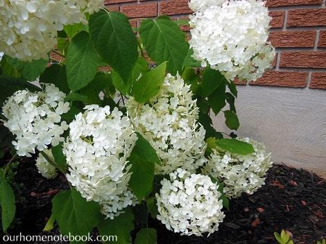 Hydreangeas in bloom1